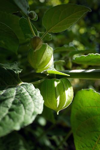 1gooseberry