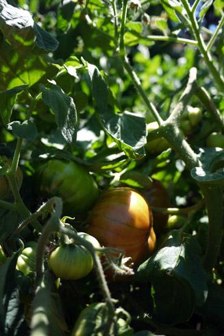 2012エアルームトマト