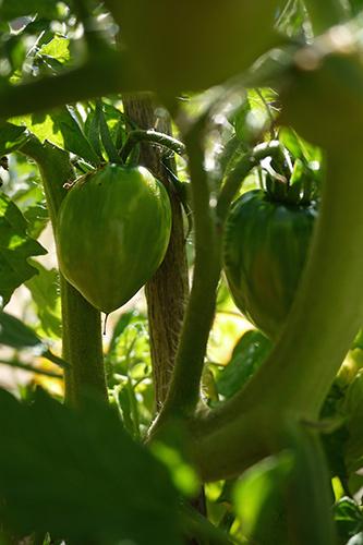 ヘリテージトマト
