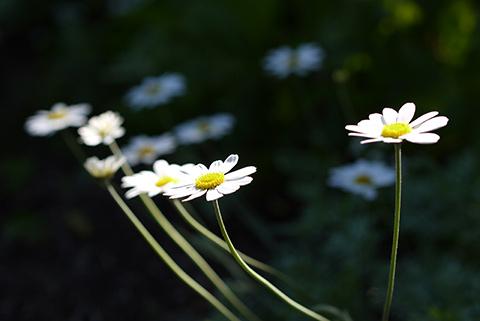 May_garden_flower8