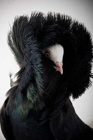 Richard_Bailey_pigeon