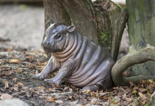 baby-dwarf-hippo-olivia-parken-zoo-sweden