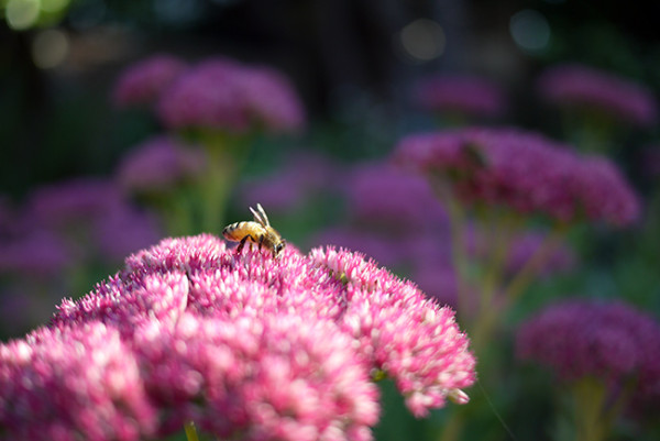 bee-on-pink