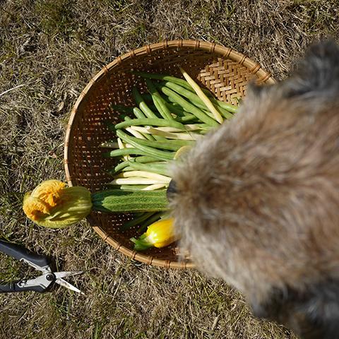 インゲン豆好きな犬
