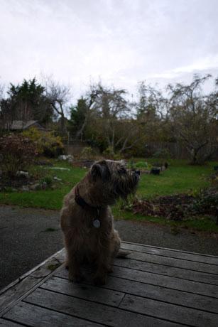 gus border terrier