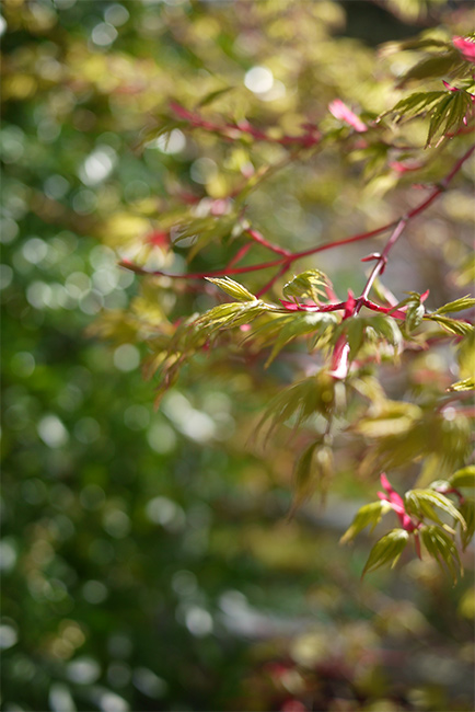 coral maple shoots
