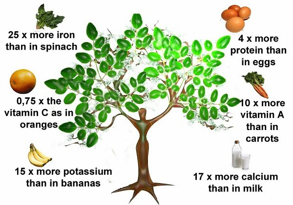 moringa-tree-of-life-from-himalayas-foothills