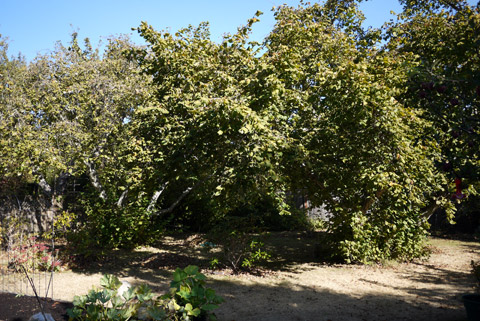 ヘーゼルナッツの木 秋