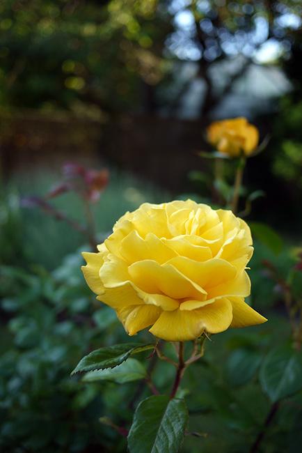 radiantperfume1