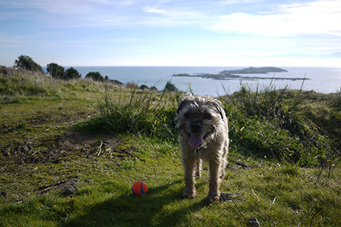 Happy Border Terrier