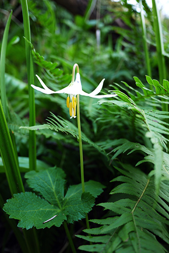 white_fawn_lily