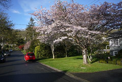 ビクトリアの桜