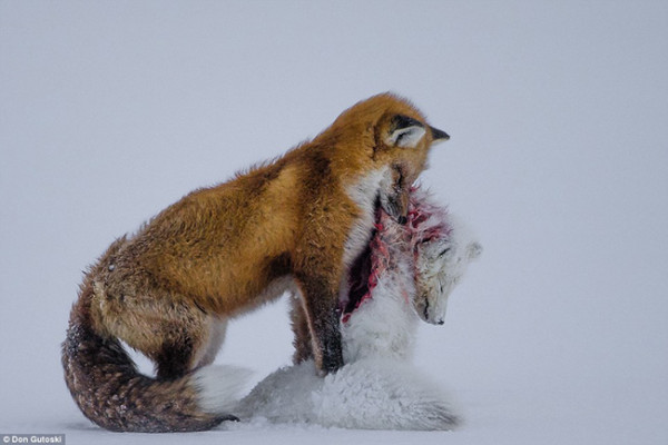 A Tale of Two Foxes, from CBC News
