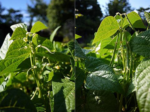 ビクトリア 畑の野菜