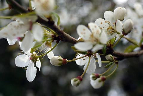 Prunus Pissardii Nigra