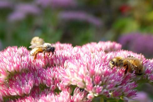秋のミツバチたち