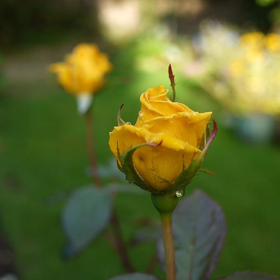 秋の黄色いバラ