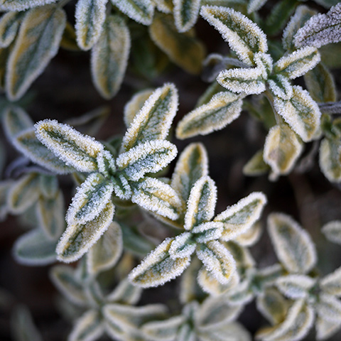 frosty-beauty6