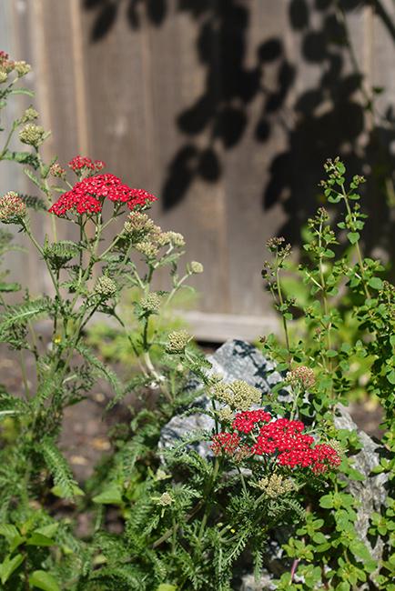 7月初めの庭