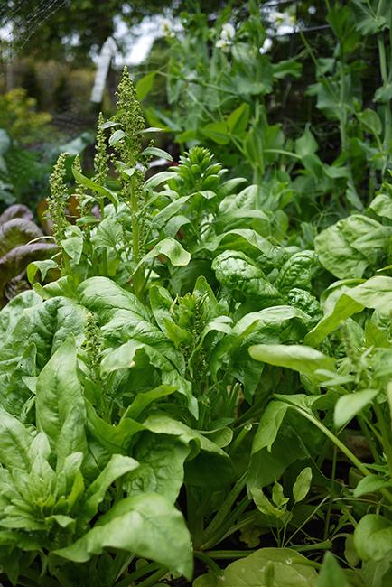 garden_spinach