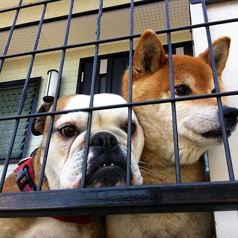 ブルドッグと柴犬
