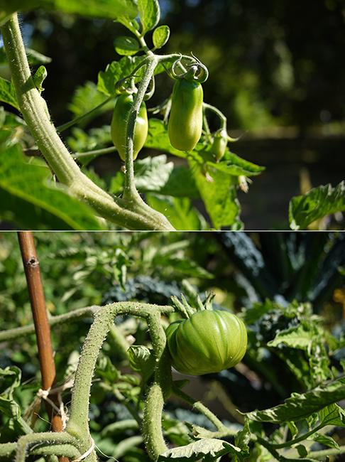 7月半ばの野菜