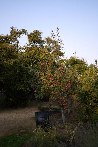 庭のりんご