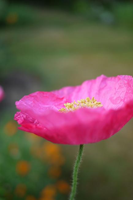pink_poppy