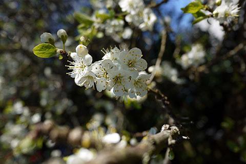 ビクトリア春の野の花