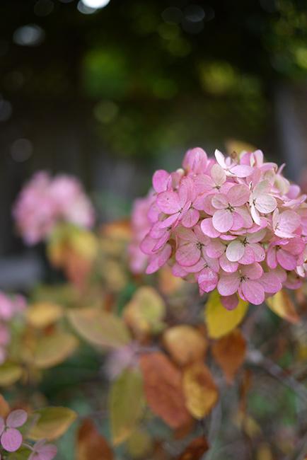 秋色の紫陽花