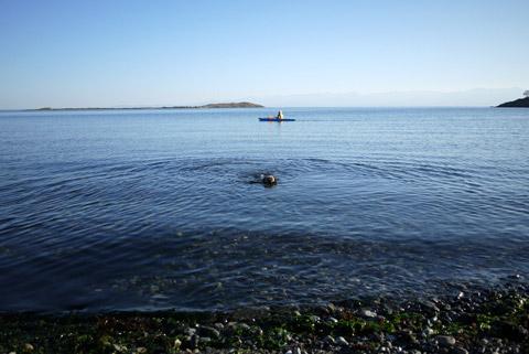 ボーダーテリア泳ぐ
