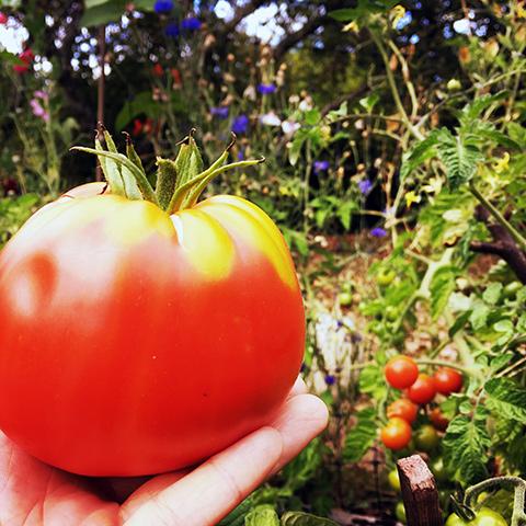 tomato_Gus