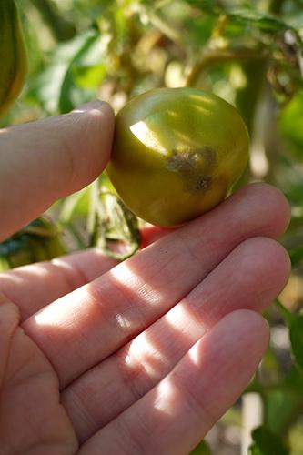 tomatoendrot2