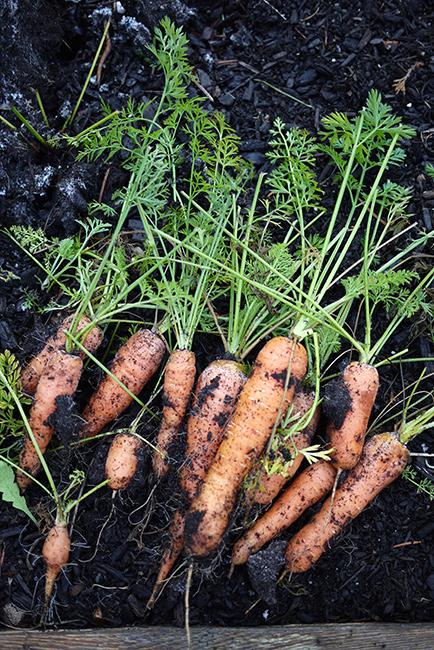 winter_carrot
